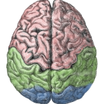 Cerebral_lobes-150x150